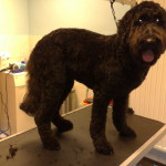 labradoodle na knippen